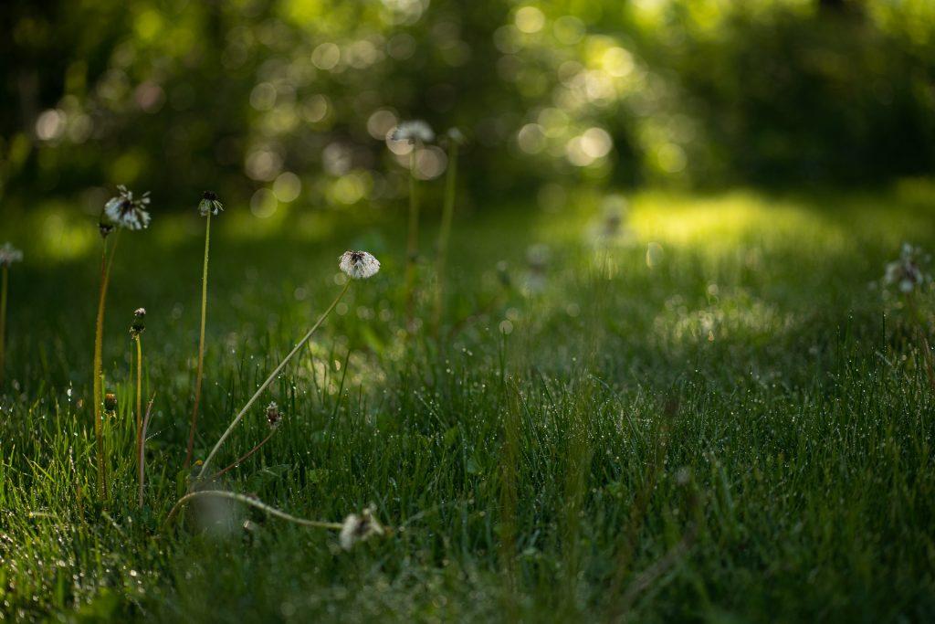 dandelions morning light