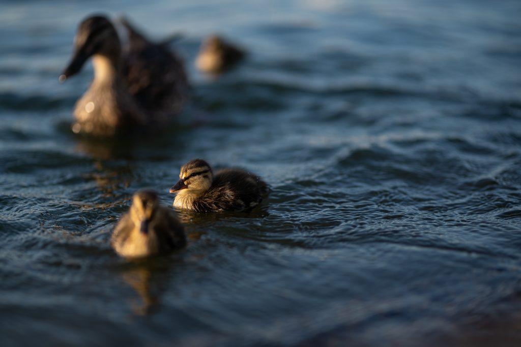 ducklings lake mendota